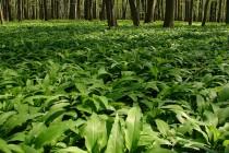 PR Zbytka, lužní les v s česnekem medvědím - Allium ursinum v brzkém jarním aspektu