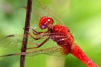 Mediteranní vážka červená se prostě nedá přehlednout
