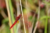 Vážka červená - Crocothemis erythraea , Zlíčský rybník, 21.8.2011