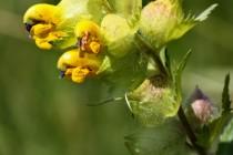 Kokrhel luštinec - Rhinanthus alectorolophus