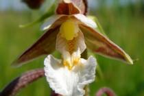 Kruštík bahenní - Epipactis palustris