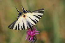 Otakárek ovocný předvádí Oudemansův fenomén. Všiměte si, že se pruhy sbíhají k zadnímu pólu těla, který je zvýrazněn i barevnou kresbou a ostruhami - jako kdyby byla pozornost predátora odváděna od hlavy ke konci těla a motýl tak měl při případnému útoku větší šanci k úniku.