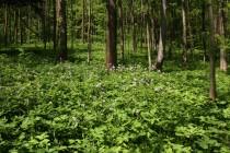 Květnatá dubohabřina s příměsí jasanu a bohatým bylinným patrem