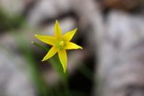 Drobounká kvítka křivatce nejmenšího připomínají malé hvězdičky