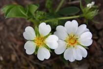 Mochna bílá - místní botanická rarita