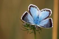 V létě zde poletuje krásný modrásek vikvicový