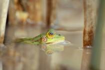 V době rozmnožování jsou u skokanů krátkonohých nejnápadnější oči