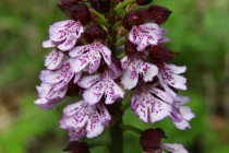 Vstavač nachový - asi dvacet orchidejí dožívá na místě, které bylo nově nevhodně osázeno smrkem a borovicemi.
