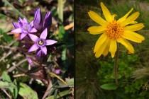 K místním botanickým pokladům patří hořeček mnohotvarý český - Gentianella praecox subsp. bohemica a prha arnika - Arnica montana