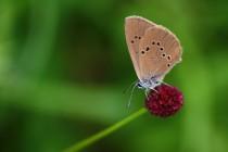 Modrásek bahenní - Maculinea nausithous