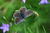 Modrásek ušlechtilý - Polyommatus amandus - samice, Orlické hory- U Žídků, 20.6.2012