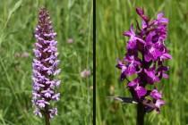 Orchideje pětiprstka žežulník a prstnatec májový zde na jaře zbarví louku do fialova