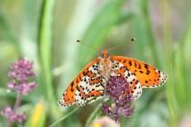 Hnědásek květelový je velký fešák - byla by velká škoda, kdyby u nás vyhynul...