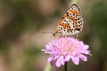 Hnědásek květelový - Melitaea didyma