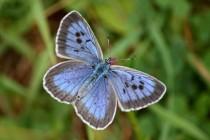 """... modrásek černoskvrnný (""""Arion"""") patří k našim nejhezčím a nejvzácnějším motýlům"""