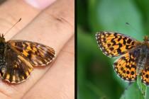 """Vzácně se zde vyskytuje i velmi neobvyklá forma perleťovce nejmenšího (vpravo typický perleťovec, vlevo místní """"anomálie"""")"""