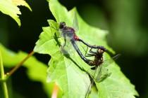 Vážka čárkovaná - Leucorrhinia dubia , Odkaliště Jívka, 13.6.2009