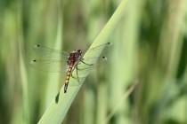 A také krásná vážka jasnoskvrnná, která zde má jednu z nejpočetnějších populací ve východních Čechách.