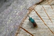 Na mrtvém dřevu hledají hostitele i parazitické zlatěnky
