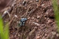 Žije zde vzácná parazitická včela - smutilka Melecta luctuosa
