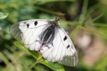 Od podobných bělásků poznáme jasoně snadno podle průhledných okrajů křídel
