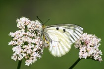 Samičky mají tělíčko zabarvené kontrastní kombinací žluto-bíle-černé barvy