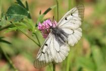 Jasoň dymnivkový (Parnassius mnemosyne) patří k našim nejvzácnějším motýlům