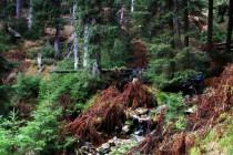 Z říčky se postupně stává potok, který protékám smrkovým pralesem.