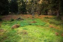Na náhorní pláni je smrčina silně podmáčená a přechází v lesní rašeliniště.