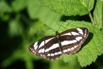 Bělopásek hrachorový je motýl prosvětlených lesů, který u nás vyhynul díky změnám v lesním hospodaření.