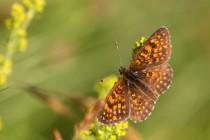 Hnědásek podunajský - Melitaea britomartis