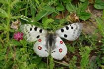 Jasoň červenooký je nejznámějším druhem z našich vyhynulých motýlů. Doplatil zejména na zánik tradičního extenzivního pastevectví.