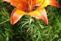 Lilie cibulkonosná - Lilium bulbiferum , Orlické hory - Panské pole, 1.7.2006 DSC02135
