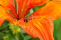 Drobné pestřenky s chutí olizují květní papily, do opylení se jim ale moc nechce...