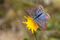 Modrásek hnědoskvrnný - Polyommatus daphni
