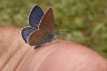 Modrásek lesní - Cyaniris semiargus