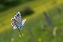 Modrásek vičencový - Polyommatus thersites