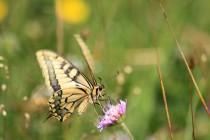 Otakárek fenyklový - Papilio machaon , Malá Čermná, 1.8.2014 IMG_9825