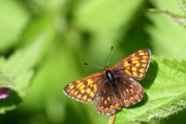 Pestrobarvec petrklíčový - Hamearis lucina