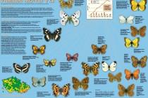 Už je u nás neuvidíme - plakát Vymírání motýlů v ČR, Vesmír 2009/6