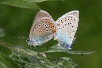 Modrásek ušlechtilý - Polyommatus amandus, Orlické hory- U Žídků, 20.6.2012  IMG_9527