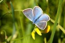 Modrásek ušlechtilý - Polyommatus amandus , samec, Teplice nad Metují- Na zbořeništi, 23.6.2012 IMG_9736