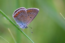 Modrásek ušlechtilý - Polyommatus amandus - samice, Orlické hory- U Žídků, 20.6.2012 IMG_9631