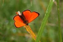 Ohniváček celíkový - nejhezčí oranžová v živočišné říši