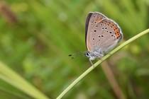 Ohniváček modrolemý - Lycaena hippothoe , Polsko- Rogowa kopa, 22.6.2013 IMG_0849