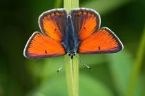 Ohniváček modrolemý - Lycaena hippothoe , samec, Orlické hory- Panské pole, 21.6.2009 IMG_7643