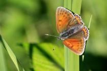 Ohniváček modrolemý - samice