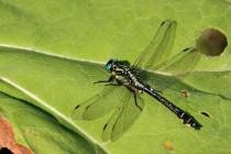 V Metuji žijí i larvy vzácné klínatky obecné