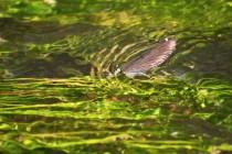 Zatímco samičky kladou vajíčka do vody