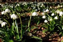 V olšinách brzy z jara vykvétají koberce bledulí